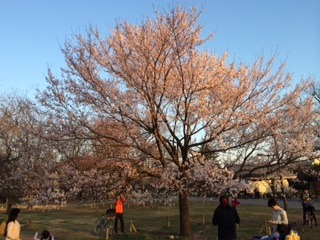 桜中央公園
