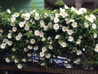 近所の花150430