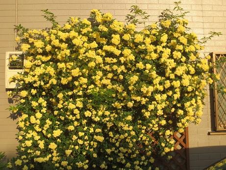 近所の花黄色