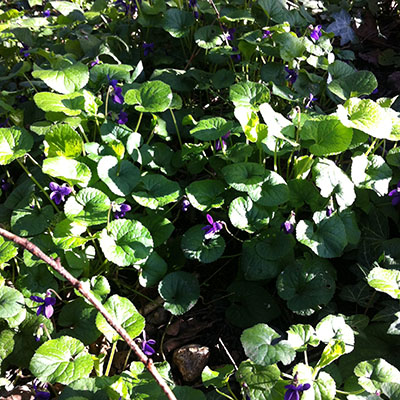 violet01.jpg