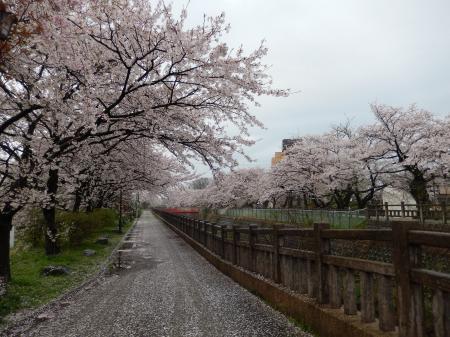 平成27年 春 富山の桜