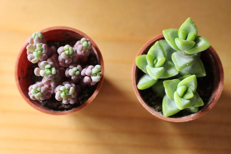 紫セダムとルペストリス