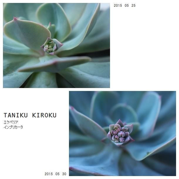 インブリカータ花芽成長2