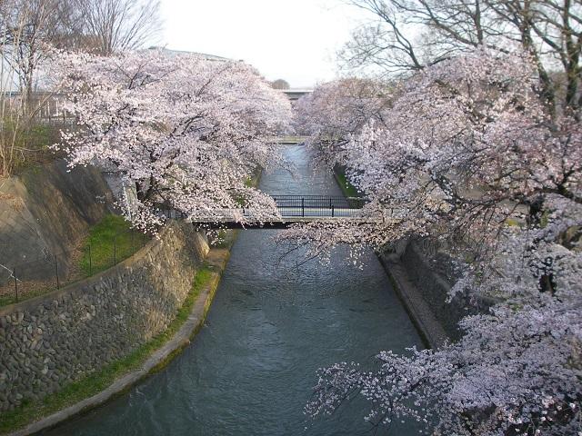 P33106942015年3月31日 前橋公園発電所放水路のサクラです八分咲き位です(大嶋)