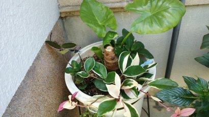 食わず芋の芽