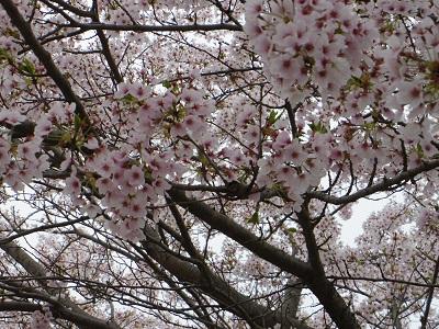お花見2015-4