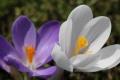 早春の花17