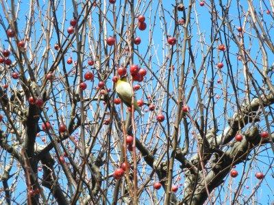 ヒメリンゴを突くメジロ