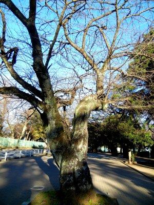薬円台公園・ソメイヨシノ