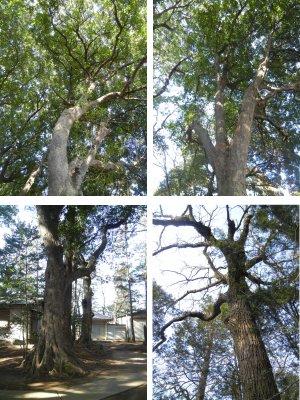八王子神社・境内巨木