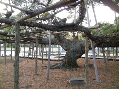 影向の松の枝張り