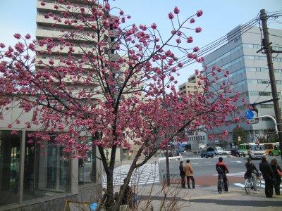木場五丁目交差点の寒緋桜?