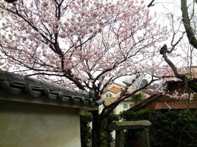 足柄桜at法性寺1