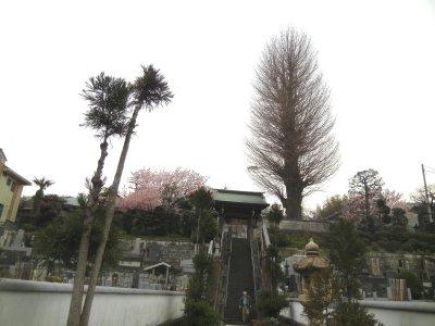 足柄桜at法性寺2