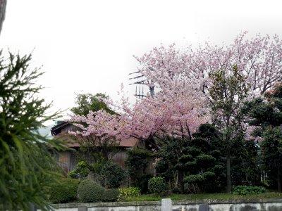 足柄桜at法性寺3