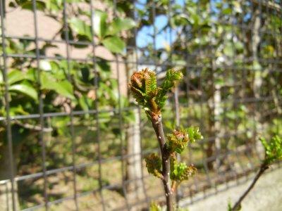 山椒の葉芽