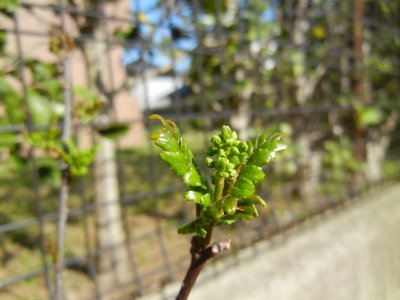 山椒の花芽