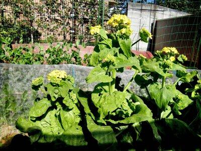 その後の白菜の花