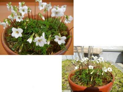 ヒゴスミレの花が咲く