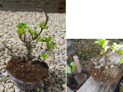 ヒメリンゴ植替え前・掘り上げ後