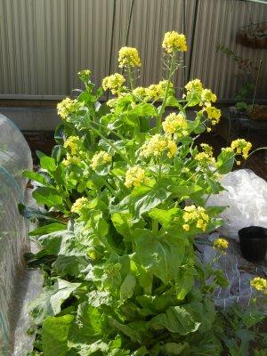 さらにその後の、白菜の花