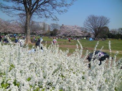 木場公園、雪柳越しの桜