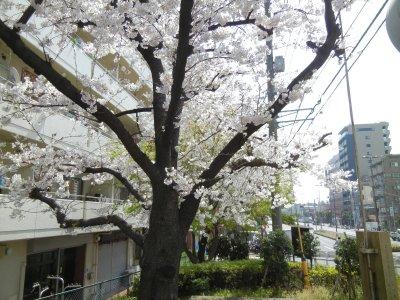 洲崎遊郭・大門跡辺りの桜