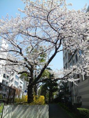 洲崎川緑道公園・入口あたりの桜