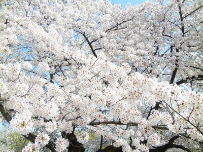 ソメイヨシノ栽培・花のみ