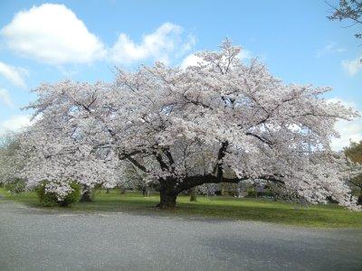 ソメイヨシノ栽培Prunus×yedoensis Matsum
