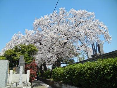 染井霊園の桜1