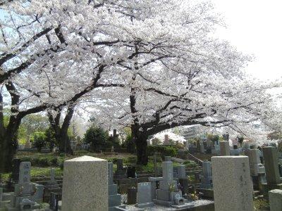 染井霊園の桜2