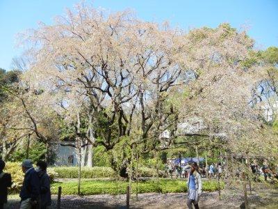 六義園の花の終わった枝垂桜