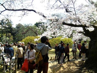 吹上茶屋の桜