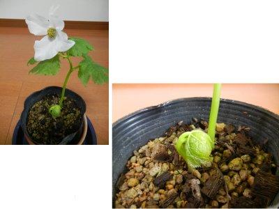 シラネアオイの芽