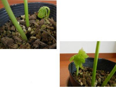 三つ目の芽が動いた