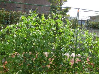 スナップエンドウの花が咲き進む