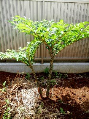 140706蒟蒻の樹(葉芽)