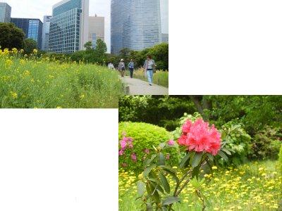 お花場畑の名残の菜の花&花木園のシャクナゲとタンポポ