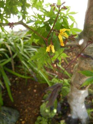 カラスバニガナの花