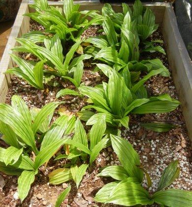 梅雨準備に敷き枯れ葉を除去