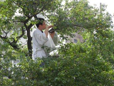 樹上の梅の実を採る