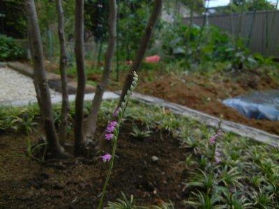 ネジバナが咲いていた