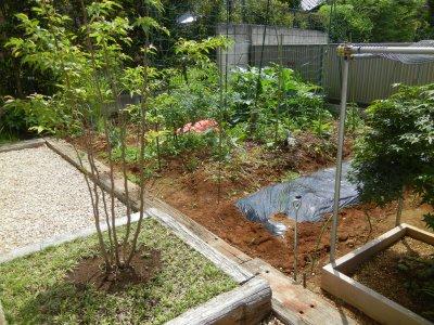 ネジバナが根元に咲くヒメシャラから見た野菜畑の現状
