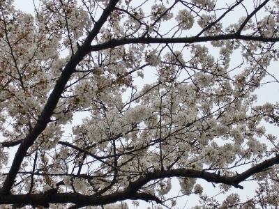 東京・桜1