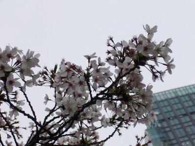 東京・桜2