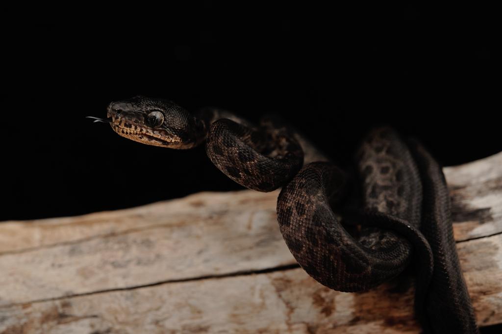 アマゾンツリーボア・メラニスティック個体 Corallus hortulanus ( possible Leopard phase )