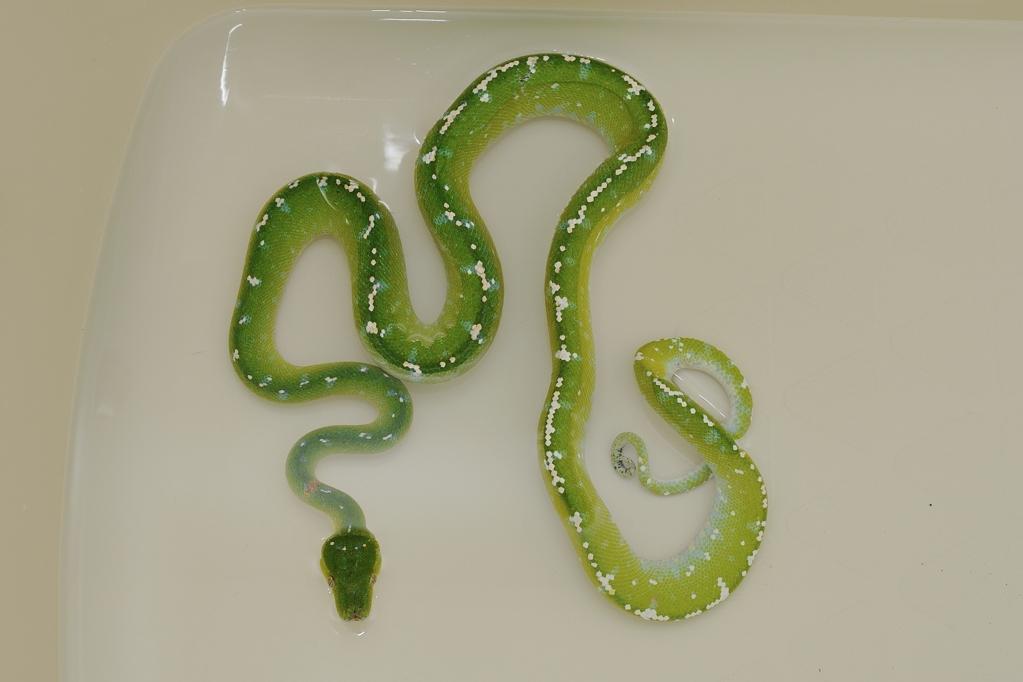 グリーンパイソン Morelia viridis