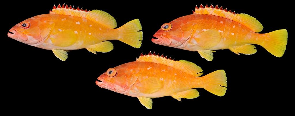 アカハタ・北硫黄島産 Epinephelus fasciatus