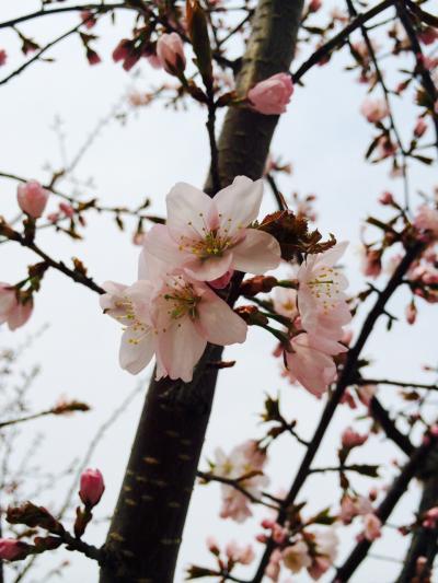 2015.4.28桜2